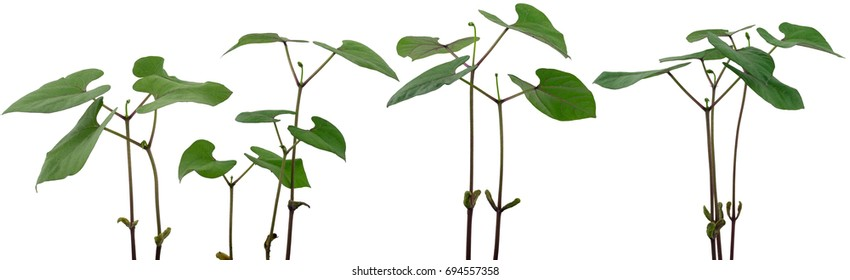 Panorama of young bean plants on white background.