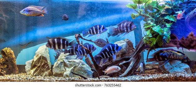 Panoramic aquarium with Malawi cichlids