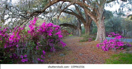 Panoramic of azaleas and oak trees at the Magnolia Plantation in Charleston, SC