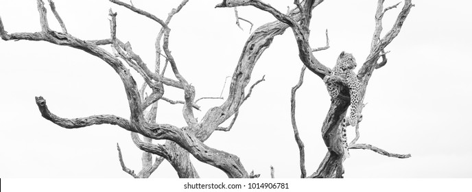 A panoramic, black and white photo of a leopard, Panthera pardus, resting in a dead leadwood tree in the Greater Kruger Transfrontier Park, South Africa.