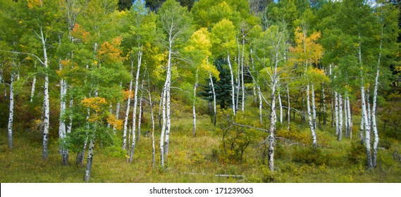 Panoramic color image of Aspen trees in the fall season in the Southwest US.