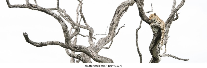 A panoramic, colour photo of a leopard, Panthera pardus, resting in a dead leadwood tree in the Greater Kruger Transfrontier Park, South Africa.