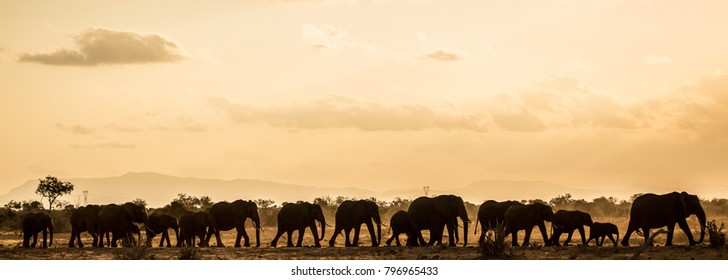 Panoramic elephant safari at dawn