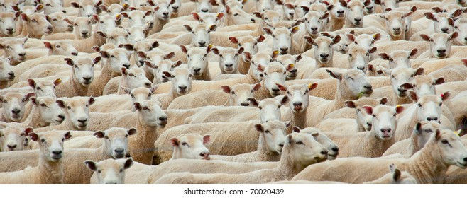 Panoramic of a flock of sheared sheep
