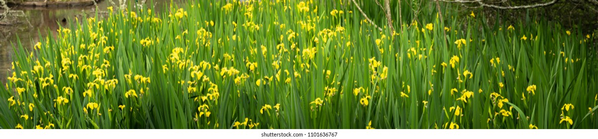 Panoramic of flowering flag iris (Iris pseudacorus) growing at the edge of a lake in spring. In Cornwall, UK.