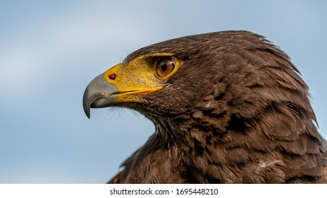 Panoramic format portrait photo of a Harris's Hawk or Harris Hawk (Parabuteo unicinctus) is also known as the Bay-winged Hawk or Dusky Hawk
