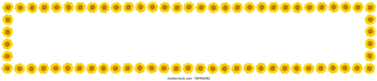 Panoramic frame of sunflower flowers on isolated white background. View from above. Free space for text.