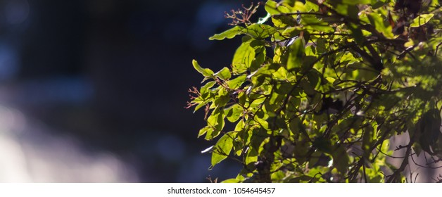 Panoramic Golden Hour Leaves