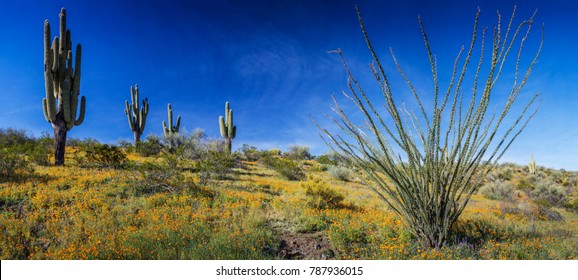 Panoramic of Golden Poppies (Eschscholzia californica) photographed with Saguaro Cacti (Carnegiea gigantea)  and Ocotillo (Fouquieria splendens) at Peridot Mesa (on the San Carlos Indian Reservation)