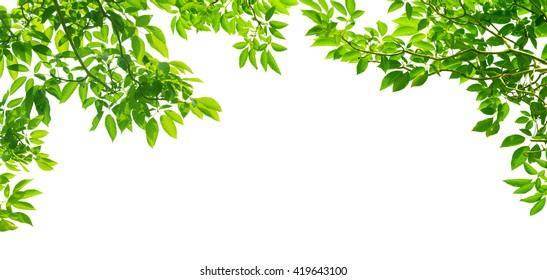 Panoramablick Grüne Blätter auf weißem Hintergrund