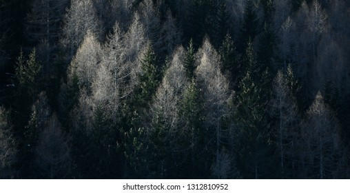 Panoramic image of beautiful Alpine coniferous forest - Woods with Firs, larches. Vintage look.