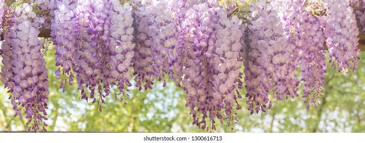 Panoramic image of blooming wisteria