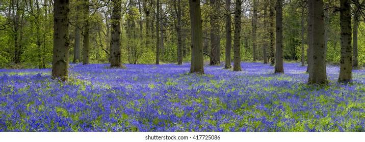 Panoramic image of bluebells at Blickling.