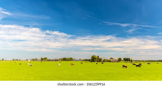 Panoramic image of Dutch cows in front of farm buildings in the province of Utrecht