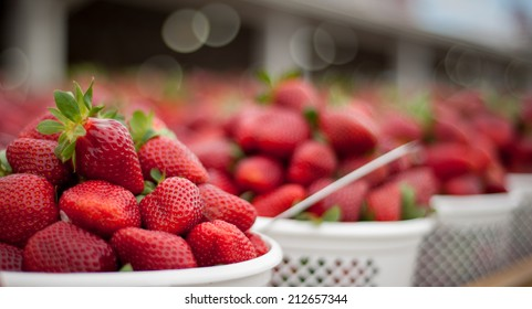 Panoramic image of fresh strawberries ready to go to market. Image has selective focus and shallow depth of field.