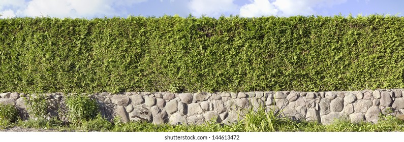 Panoramic image of the green hedges of a live evergreen Thuja tree. Used three shots. Sunny summer day. The base border  is made of granite boulders.