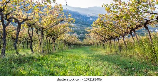 Panoramic image of Italian vineyard in the sun. Garda Lake wine. Grappa vines. Italy