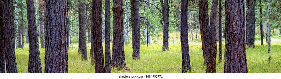 A panoramic image of pine trees and aspen trees near Black Butte Ranch in central Oregon near Sisters.