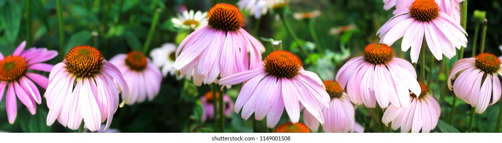 Panoramic image of pink flowers on a green background.