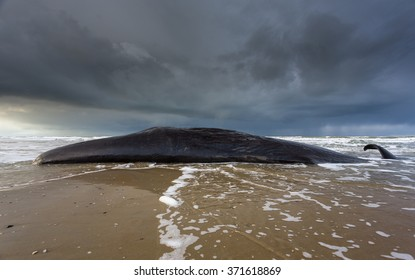 A panoramic image of a stranded sperm whale on the island of texel