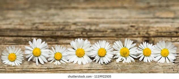 Panoramic image of white daisies on weathered wooden background with copy space