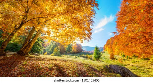 Panoramic landscape of Autumn trees on meadow, big colorful trees with golden leaves, real sun - beautiful autumn day
