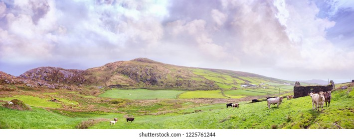 Panoramic landscape with cows and a ruined building in  southwest of Ireland