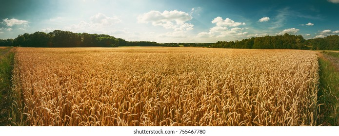 Panoramic landscape with golden wheat field at summer day. Agricultural background