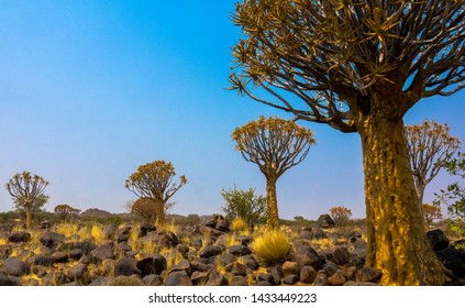 Panoramic landscape of quiver trees, Namibia