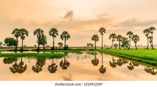 Panoramic landscape view of the suger palm trees in the paddy field in the sunset. Reflection on the water.