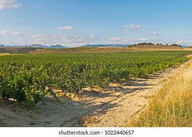 Panoramic landscape of a vineyard field in Logroño, in the Spanish region of La Rioja, famous for its wine production. Spain