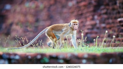 Panoramic, low angle photo of Toque macaque, Macaca sinica, srilankan monkey with reddish face and long tail against blurred red Jetavanaramaya stupa. World heritage city of Anuradhapura, Sri Lanka
