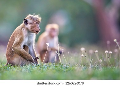 Panoramic, low angle photo of two monkeys with reddish face and long tail, Toque macaque, Macaca sinica, against blurred red Jetavanaramaya stupa. World heritage city of Anuradhapura, Sri Lanka