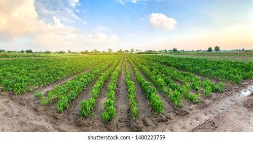 Panoramic photo of a beautiful agricultural view with pepper plantations. Agriculture and farming. Agribusiness. Agro industry. Growing Organic Vegetables