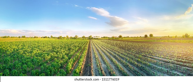 Panoramic photo of a beautiful agricultural view with pepper and leek plantations. Agriculture and farming. Agribusiness. Agro industry. Growing Organic Vegetables