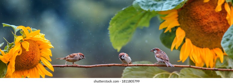 panoramic photo with birds sparrows sitting on a branch in the garden among sunflower flowers in the warm summer rain