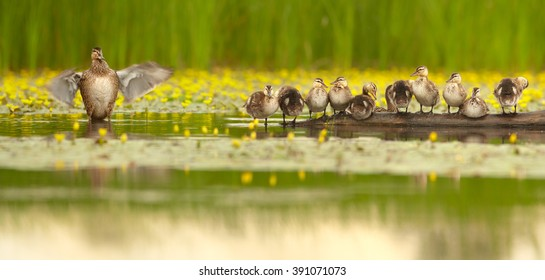 Panoramic photo of Gadwall duck family , Anas strepera. Female with group of chicks in row in lovely pose standing on old trunk in water,  against  yellow water flowers and green reeds in background.