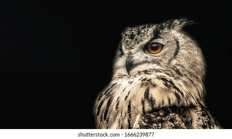 Panoramic photo of a horned owl in a half profile on a black background.