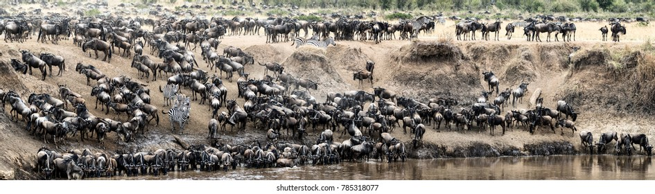 Panoramic photo of large herds of wildebeest and zebra on the bank of the Mara River during migration season in Kenya, Africa