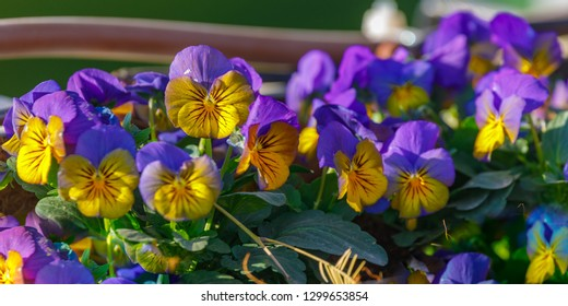 Panoramic photo of small yellow and blue pansies flowers on a bed