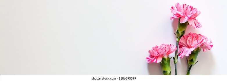 Panoramic photo of white background copy space with pink carnation flowers on the right
