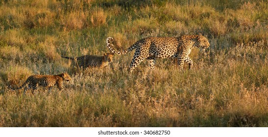 Panoramic photo, wild leopard, Panthera pardus, leopardess with two cubs walking in morning savanna. Leopard family. Wildlife photography in South Africa. Kruger park.