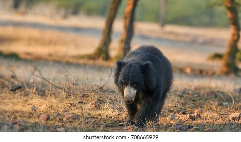 Panoramic photo of wild sloth bear, Melursus ursinus in natural environment of dry forest. Close up bear with long claws walking directly at camera. Wildlife in Ranthambore national park, India.