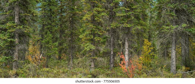 Panoramic photograph of a deep pine forest in British Columbia, Canada.