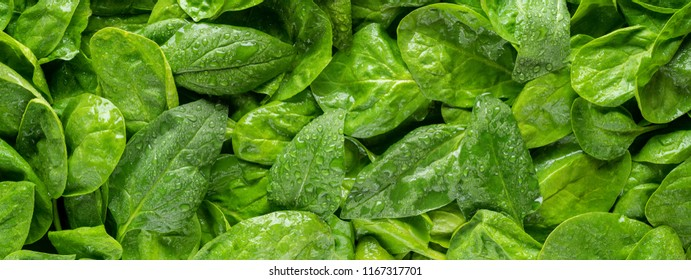 Panoramic photograph of fresh organic spinach with water drops.