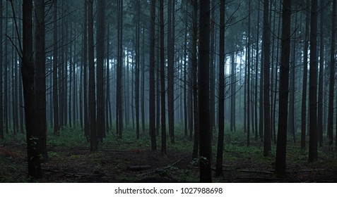 A panoramic picture of a dark forest with straight pine tree trunks that gives a creepy feeling