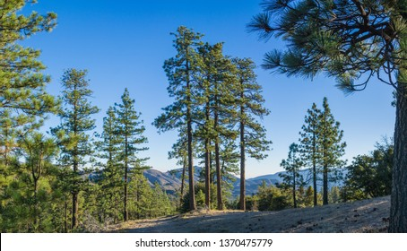 Panoramic pine trees stand in the morning sun along a ridgeline in the high mountains.