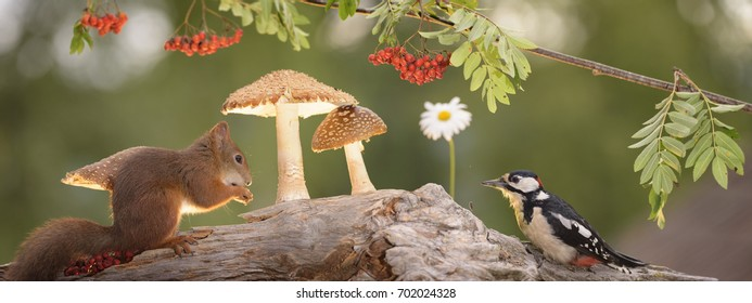 panoramic of red squirrel and woodpecker with mushrooms