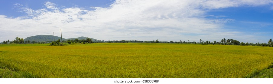 Panoramic rice field landscape