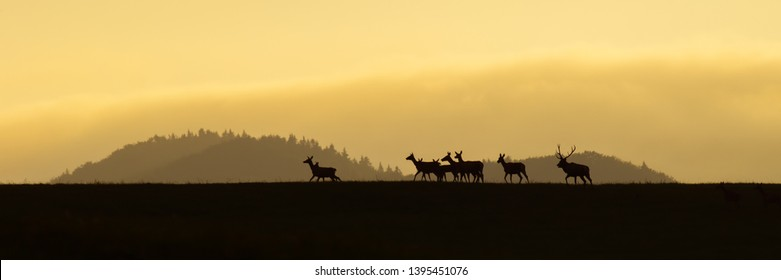 Panoramic scenery of red deer herd, cervus elaphus, walking on a horizon at sunrise. Dark silhouettes of wild animals in nature with colorful landscape in the background with copy space.